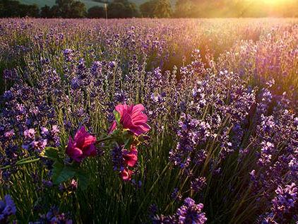 Blumenwiese im Sonnenuntergang